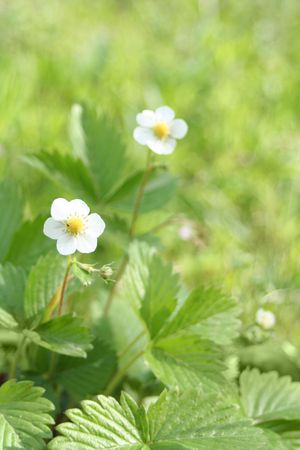 srawberry: Wild Srawberry  plant with flowers (Fragaria vesca) Stock Photo