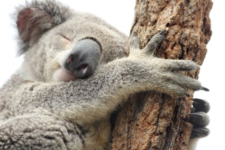 Sleeping koala isolated on white