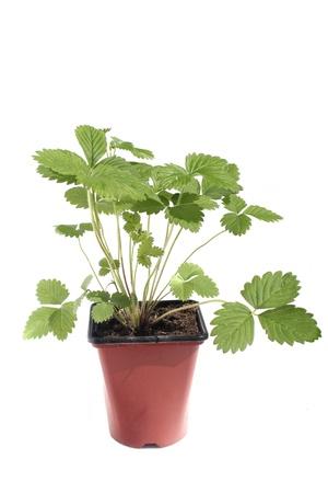 srawberry: Srawberry plan (Fragaria vesca) isolated on white