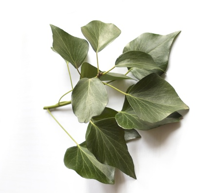 Green ivy isolated on white Stock Photo - 8704041