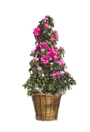 azaleas: Azalea isolated on white Stock Photo