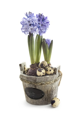 Easter concept : hyacinth flowers with quail eggs Stock Photo