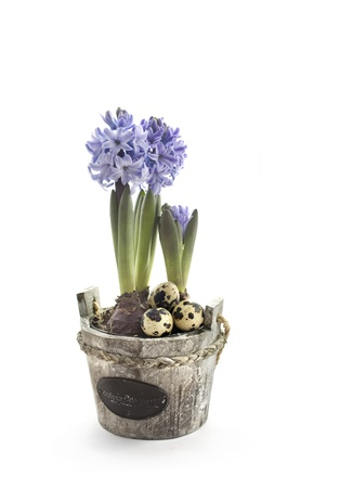 Easter concept : hyacinth flowers with quail eggs photo