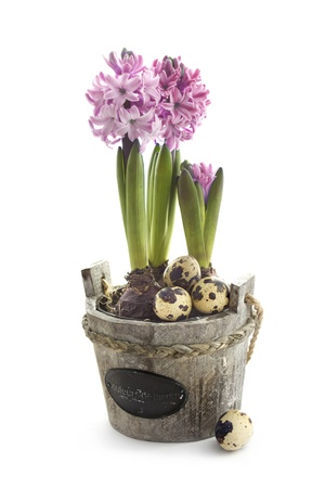 Easter concept   hyacinth flowers with quail eggs photo