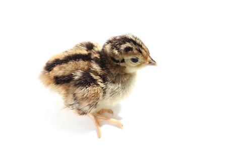 Baby pheasant isolated on white background Stock Photo