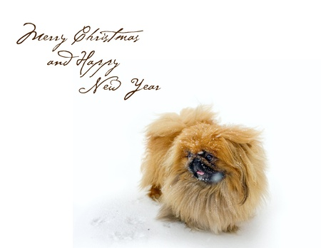 Christmas card with Pekingese on snow  with easy removable text Stock Photo - 21618382