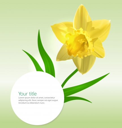 Vector background with Narcissus flower photo