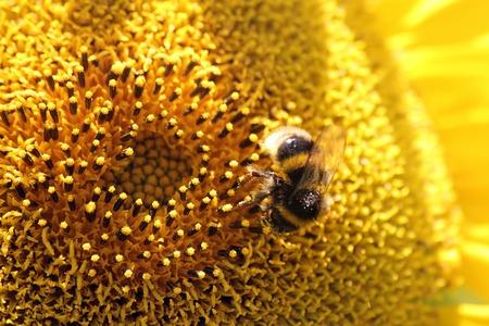 Single Bee on  Sunflower  Day light photo
