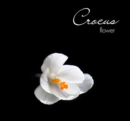 White crocus isolated on black background photo