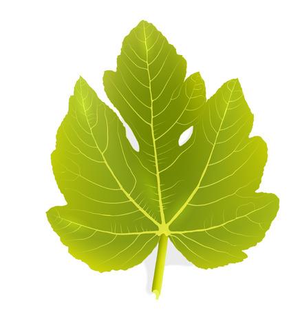 macro leaf: Fig leaf Illustration