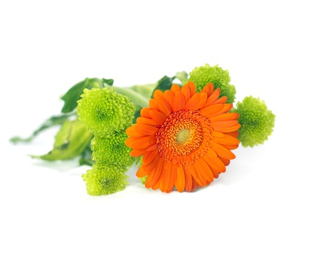 herbera: Orange Herbera with green flowers on white Stock Photo