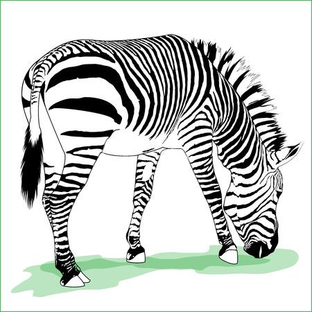 ilustración detallada de comer cebra adultos