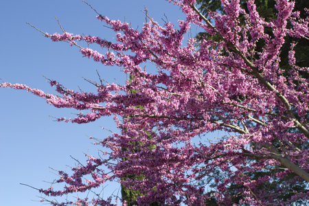 characteristic: Judas tree Cercis canadensis. Blossoming tree against the blue sky Stock Photo