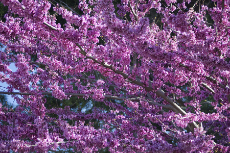 characteristic: Judas tree Cercis canadensis. Blossoming tree background