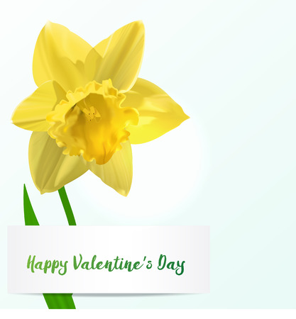 Valentine background with yellow single jonquil flower.