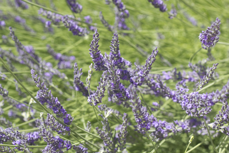 Beautiful Blooming of French Lavender with sunlight