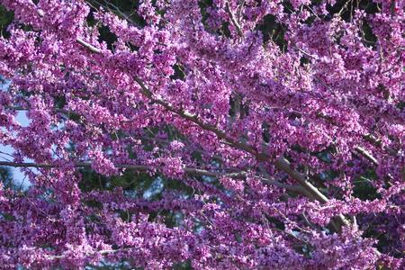 Cercis siliquastrum Judas tree spring blossom