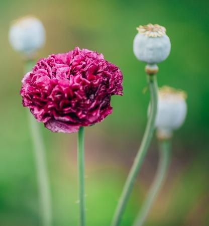 Nature pink flower in summer garden. Outdoor shot.