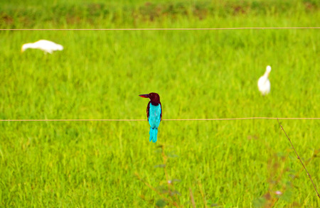 kingfisher: Blue Kingfisher Stock Photo