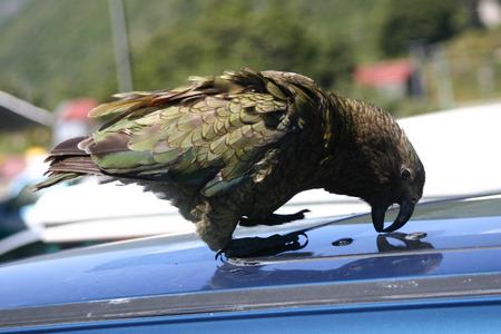 native bird: Nueva Zelanda aves nativas Kea tratando de vadalize un coche