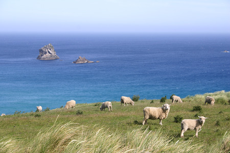 Sheep graze on pasture on the cliff, New Zealand photo