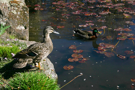 Two wild ducks on a pond photo