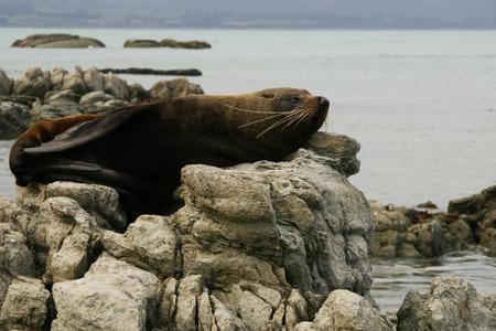 kaikoura: Fur seal lies on a rock, Kaikoura, New Zealand