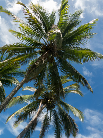the view from below: Two coconut palm trees view from below Stock Photo