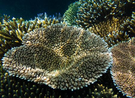 damselfish: Acropora millepora coral Fiji