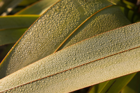 new zealand flax: Leaves of New Zealand flax with water drops