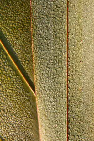 new zealand flax: Leaf of New Zealand flax with water drops Stock Photo