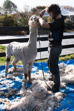 shearer: Shearer and shorn alpaca Canterbuty New Zealand