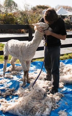shearer: Shearer pets an alpaca