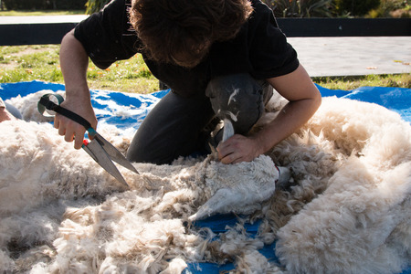 shearer: Alpaca blade shearing