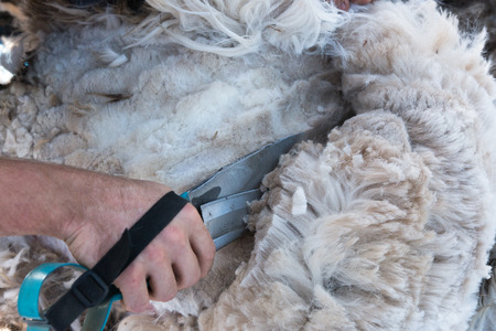 shearer: Blades go through alpaca fiber blade shearing New Zealand