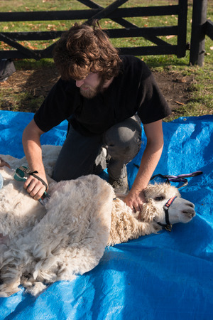 shearer: Shearing white alpaca Stock Photo
