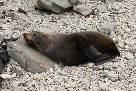 kaikoura: Fur seal on the ocean shore, Kaikoura, New Zealand Stock Photo