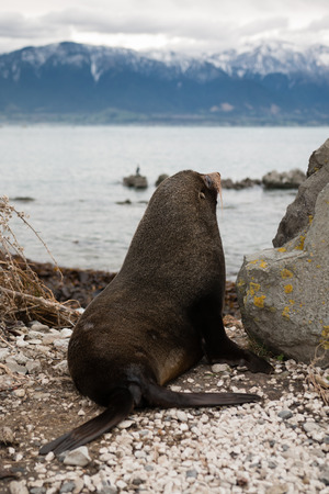 kaikoura: Fur seal sits on the ocean shore and looks to the mountain, Kaikoura, New Zealand