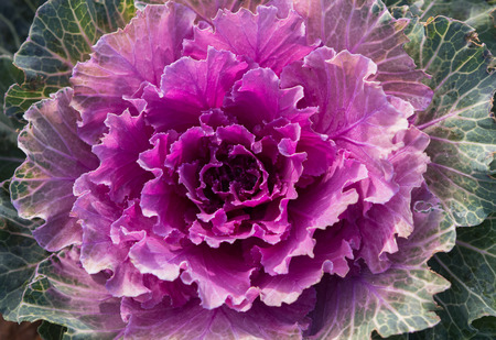 flowering kale: Head of ornamental cabbage