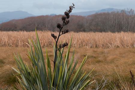 new zealand flax: New Zealand flax on background of autumn landscape Christchurch New Zealand