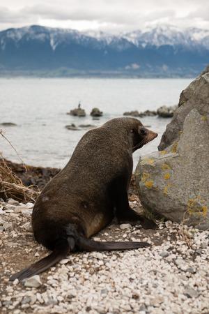 pinniped: Fur seal on the ocean shore Kaikoura New Zealand