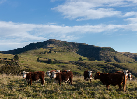 hereford: Herd of Hereford steers on mountain pasture Canterbury New Zealand