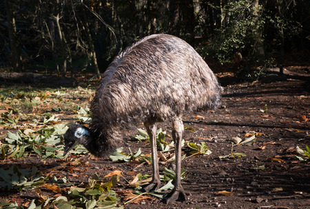 avestruz: Avestruz femenina  Foto de archivo