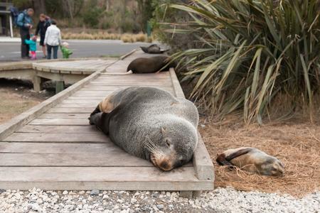 kaikoura: Fur seals sleeping on wooden path, Kaikoura, New Zealand