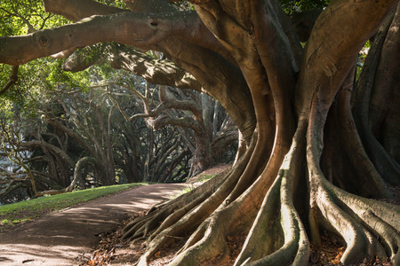 large tree: Buttress roots of Moreton Bay fig tree in Albert Park, Auckland, New Zealand