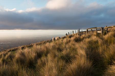 oveja: Ovejas dazing cuesta arriba en la hora dorada, Christchurch, Nueva Zelanda