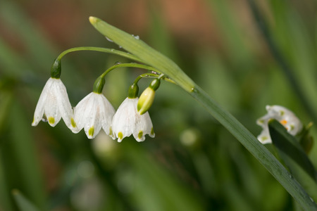 galanthus: Snowdrop stem with three flowers on blurry background