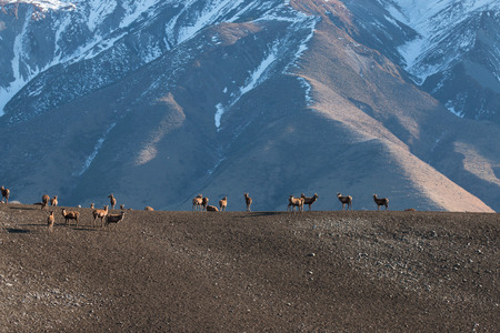herd of deer: Herd of Deer graze on the mountain pasture at early morning. Canterbury, New Zealand
