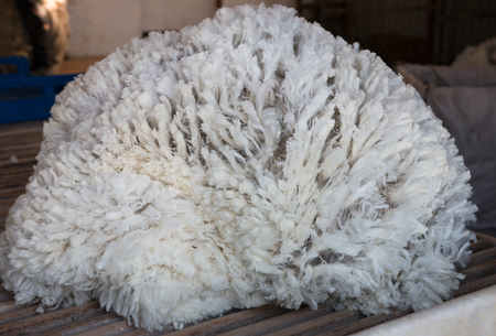 unprocessed: Pile of unprocessed sheep fleece on sorting table