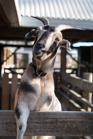 animal husbandry: Cute and happy pet goat Stock Photo